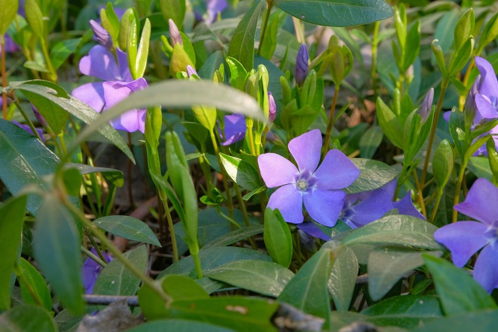 A close look at lovely periwinkle flowers.
