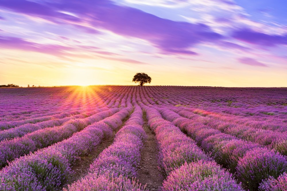 A large field of lavender flowers at sunset.