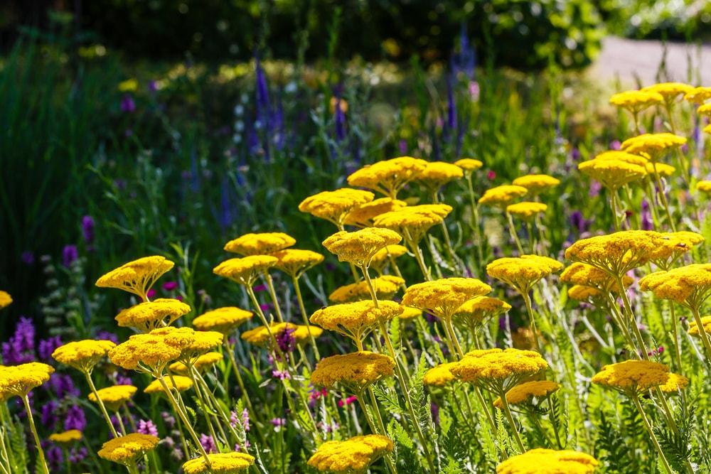 A beautiful garden of yarrow flowers.