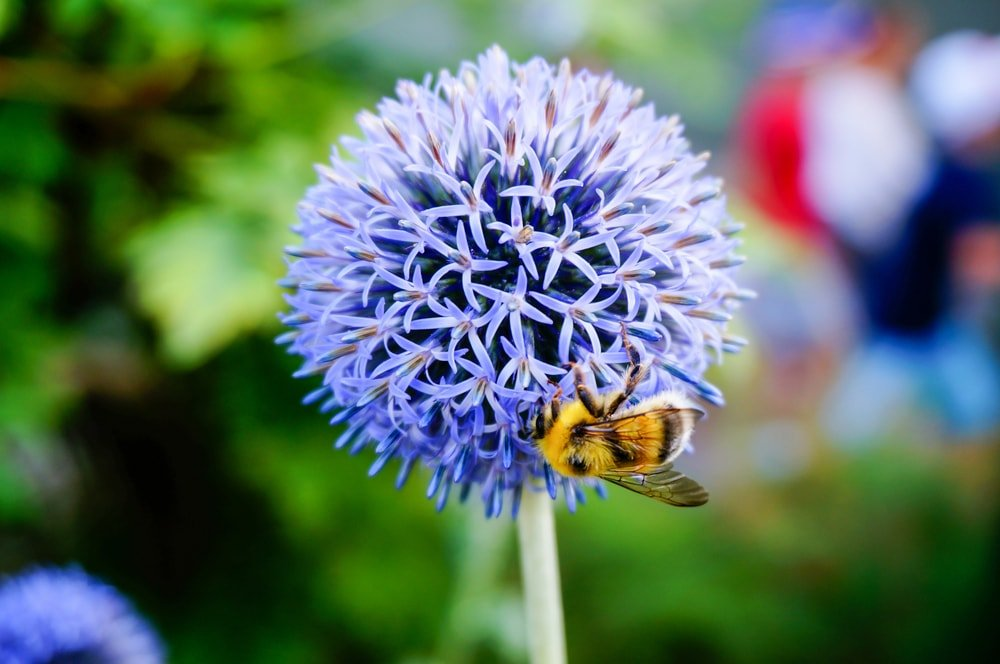 A close up of a globe thistle flower with a bee.