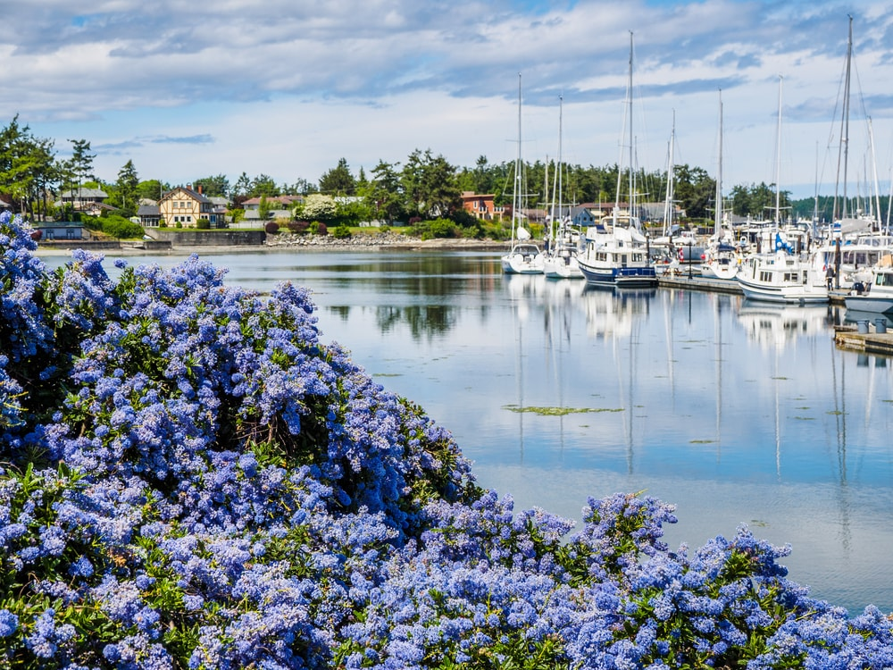 A garden of beautiful California Lilac flowers by the dock.