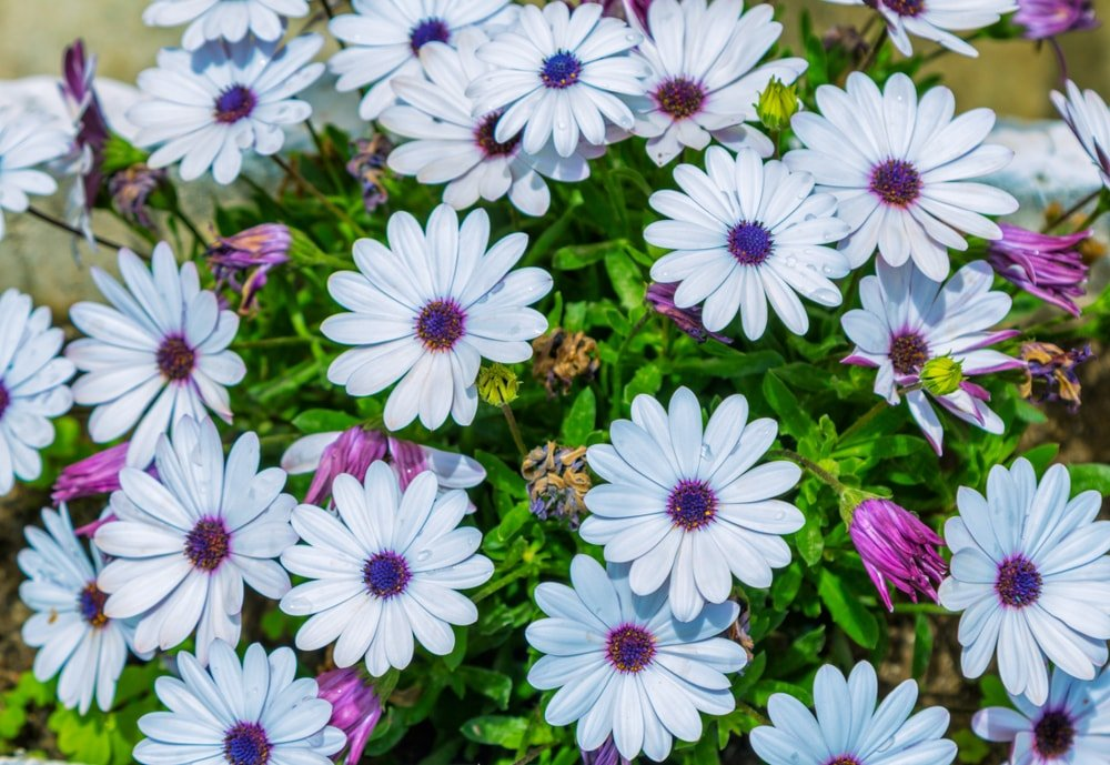 A cluster of beautiful African Daisy flowers.