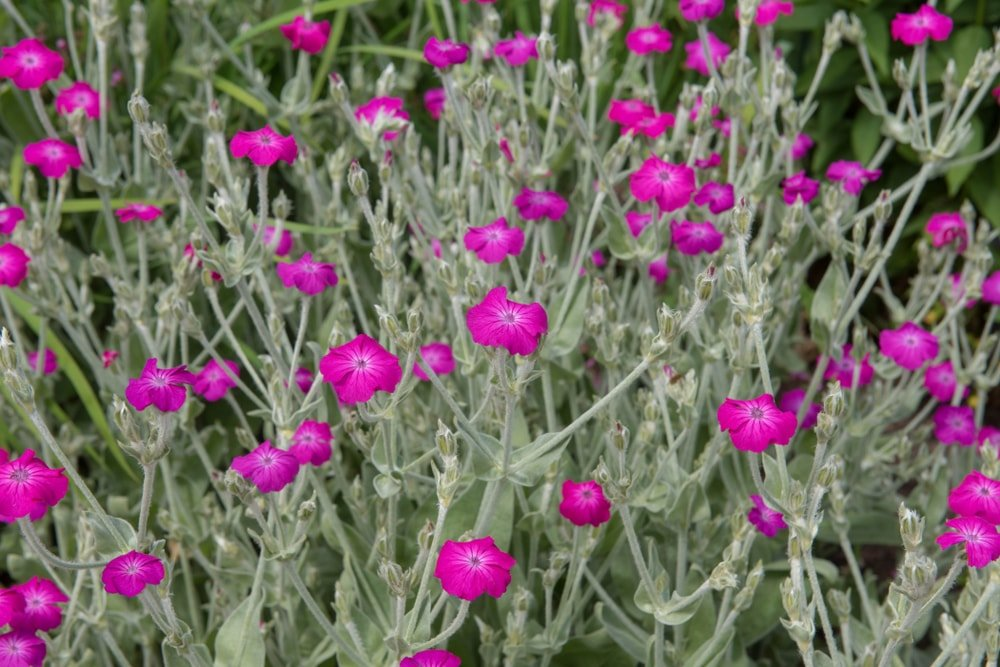 A garden of gorgeous Rose Campion flowers.