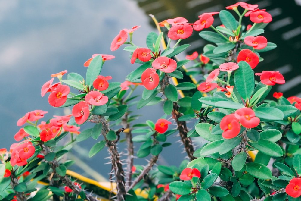 A close look at the dynamic red flowers of a Crown of Thorns plant.