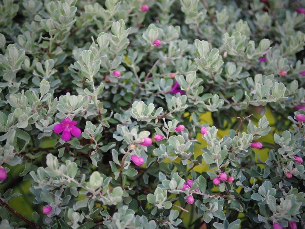 A bush of lovely Texas Ranger flowers.