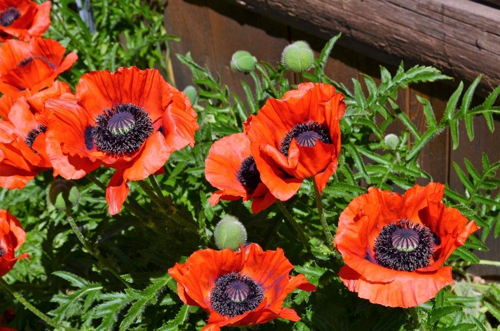 A close look at lovely Oriental Poppy flowers.