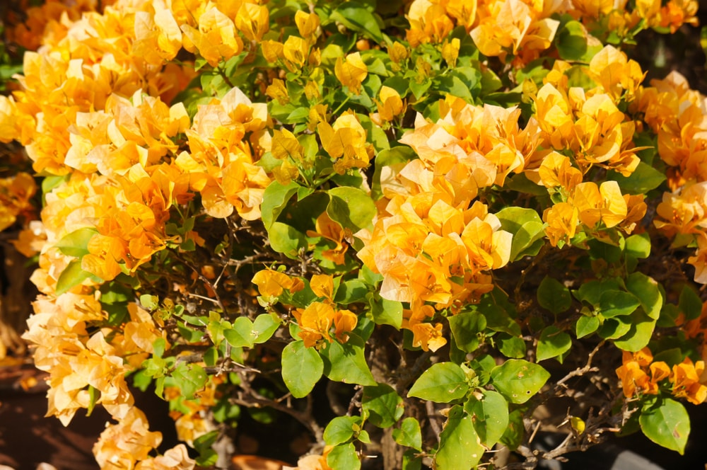 Beautiful clusters of bougainvillea flowers.