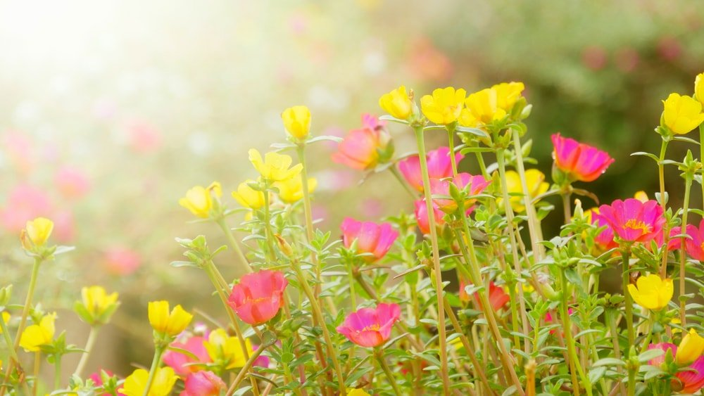 Colorful Moss Rose flowers bathed in sunlight.