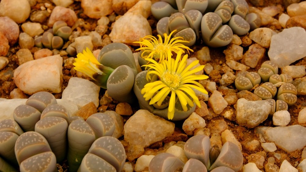 Clusters of Living Stones blooming amidst stones.