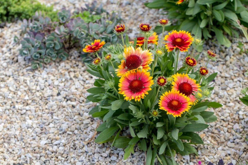 A cluster of beautiful blanket flowers on a pebbled ground.