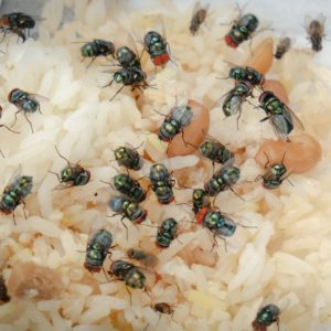 Large green flies on rotting food.