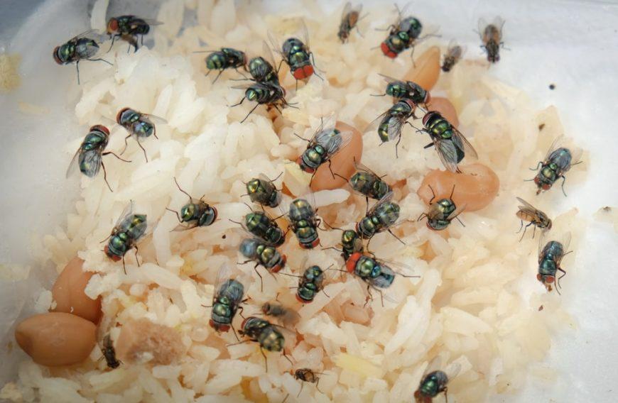 Large green flies on rotting food.
