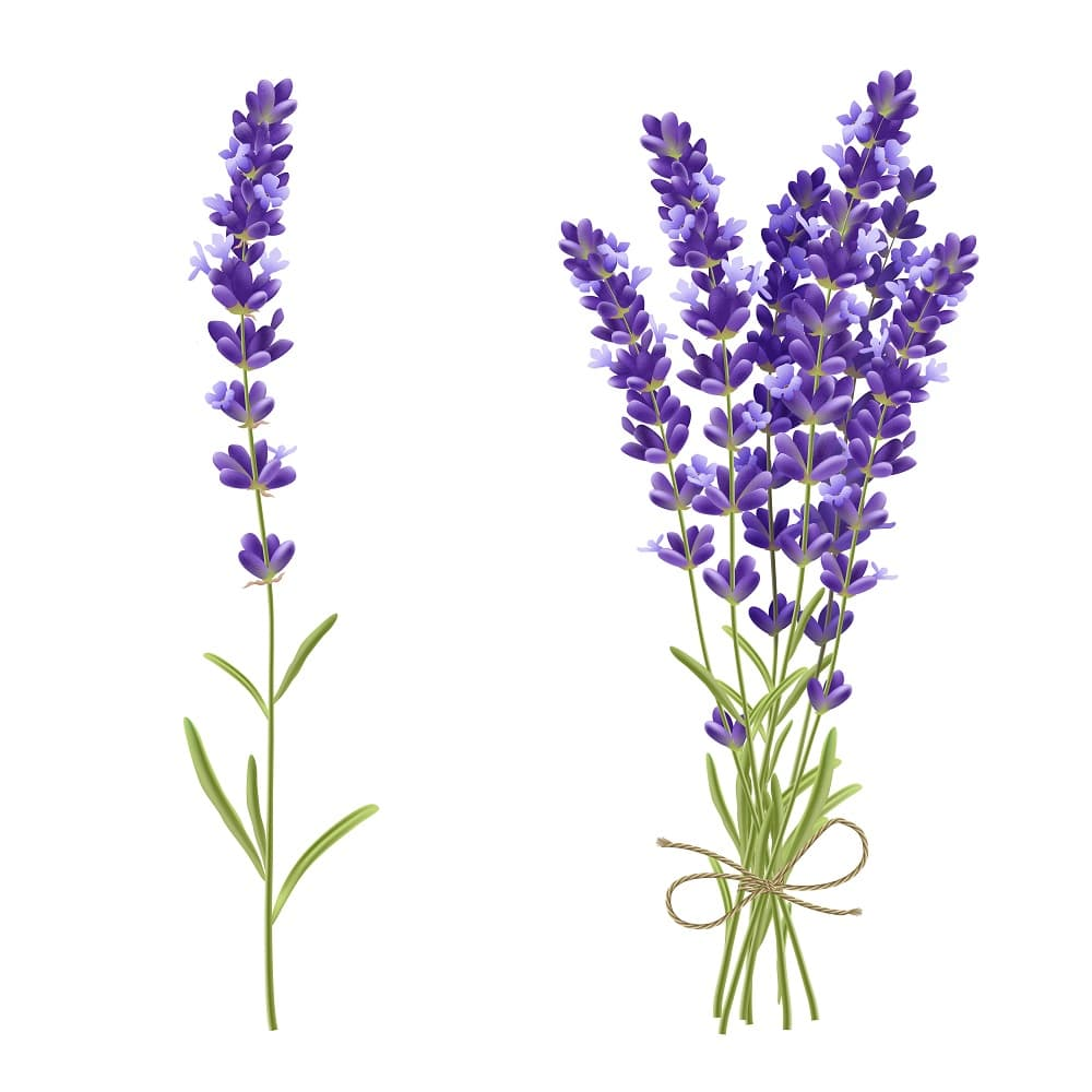 A lovely illustration of clusters of fresh lavender.