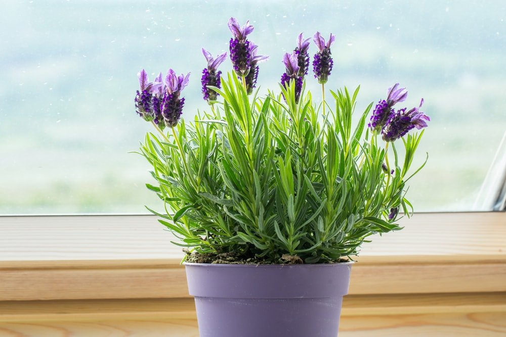 A potted lavender plant by the window.