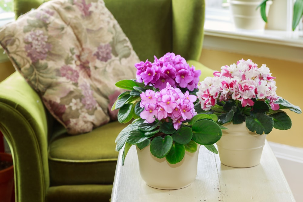 Clusters of African violets placed in pots.