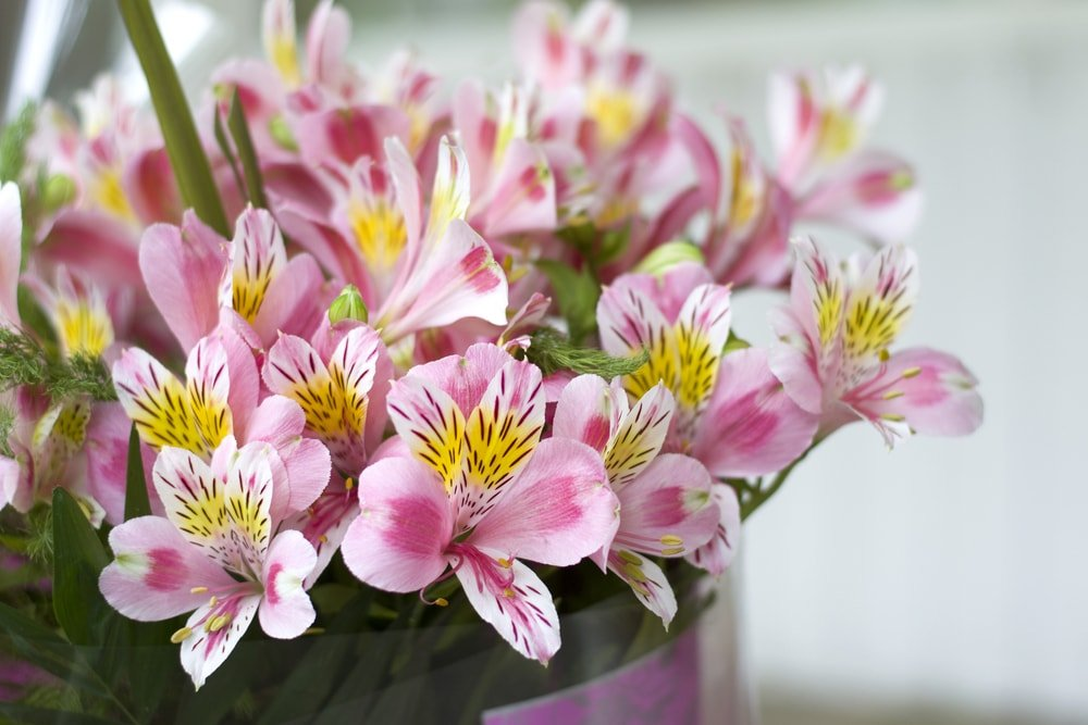 A bouquet of beautiful and colorful alstroemeria flowers.