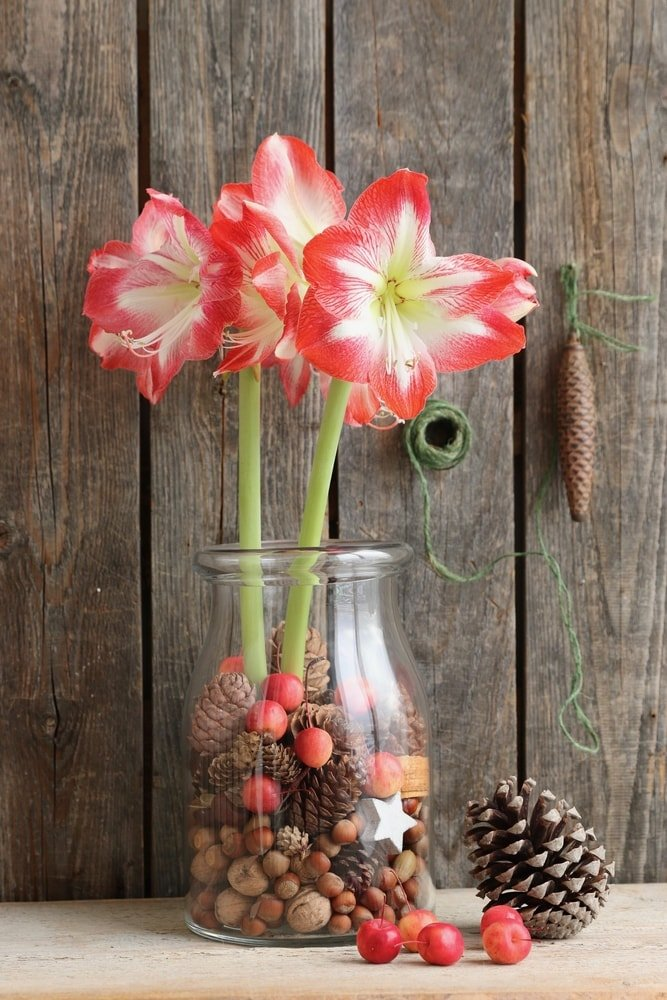 Beautiful amaryllis flowers arranged in a glass vase with acorns.