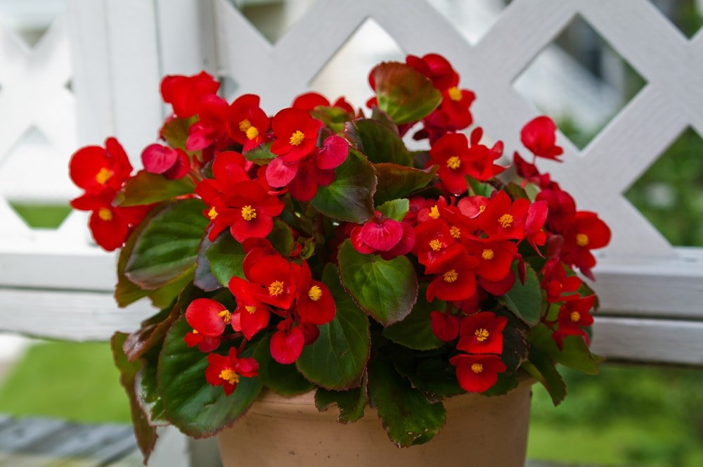 A cluster of vibrant red begonias planted on a clay pot.