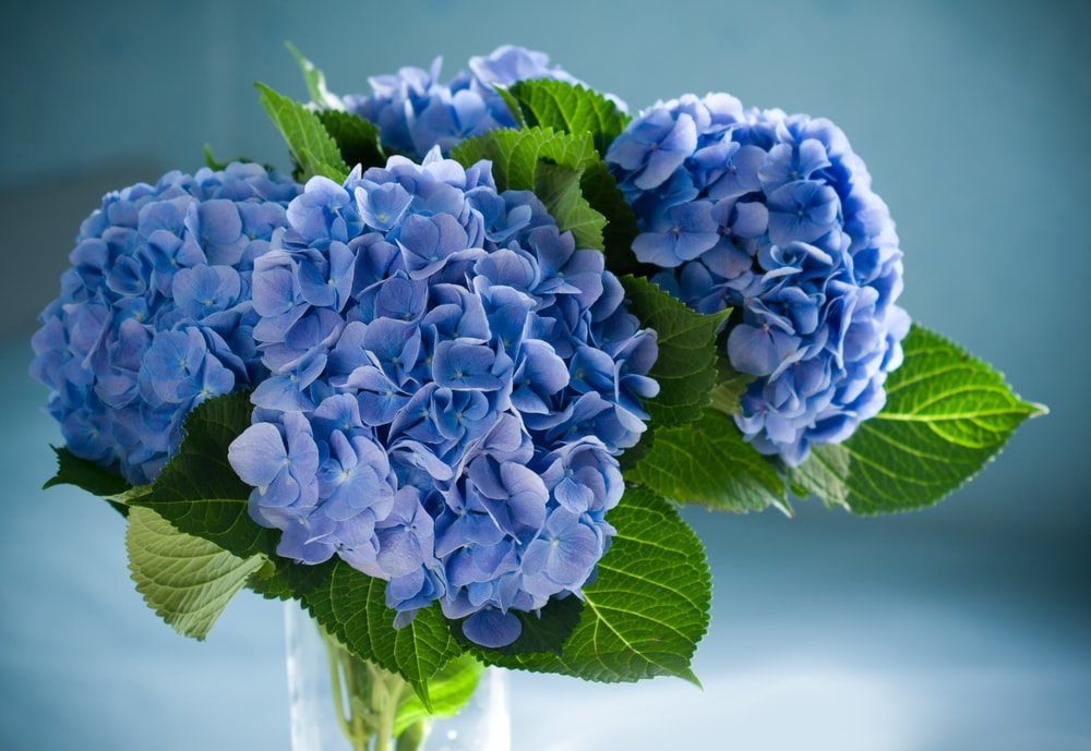 A cluster of blue hydrangeas placed in a glass vase.