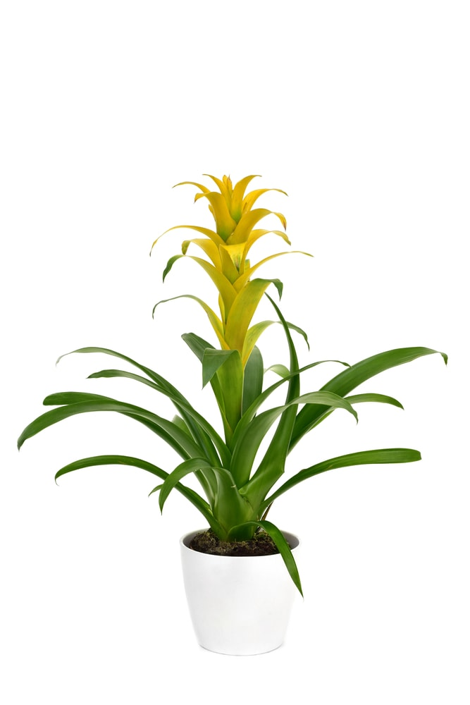 A gorgeous yellow bromeliad flower on a pot.