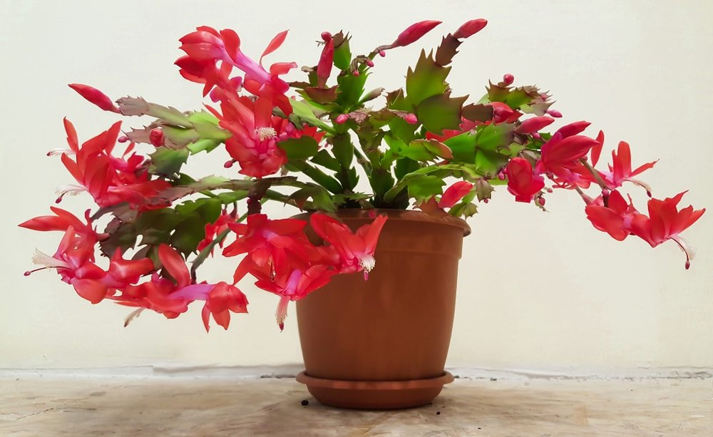 A red blooming christmas cactus on a brown pot.