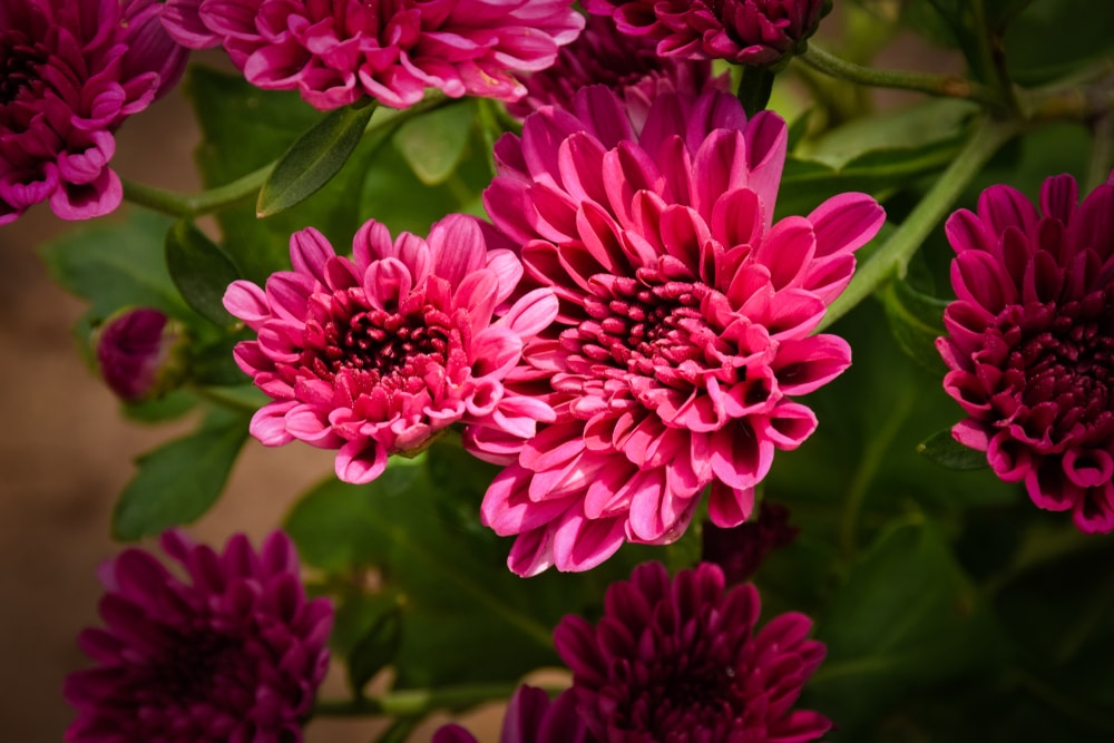 A bunch of vibrant pink chrysanthemums.