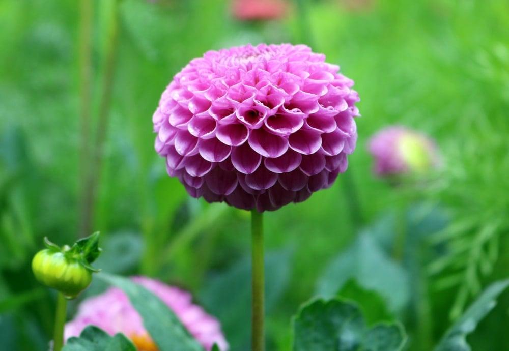 A charming pink dahlia flower.