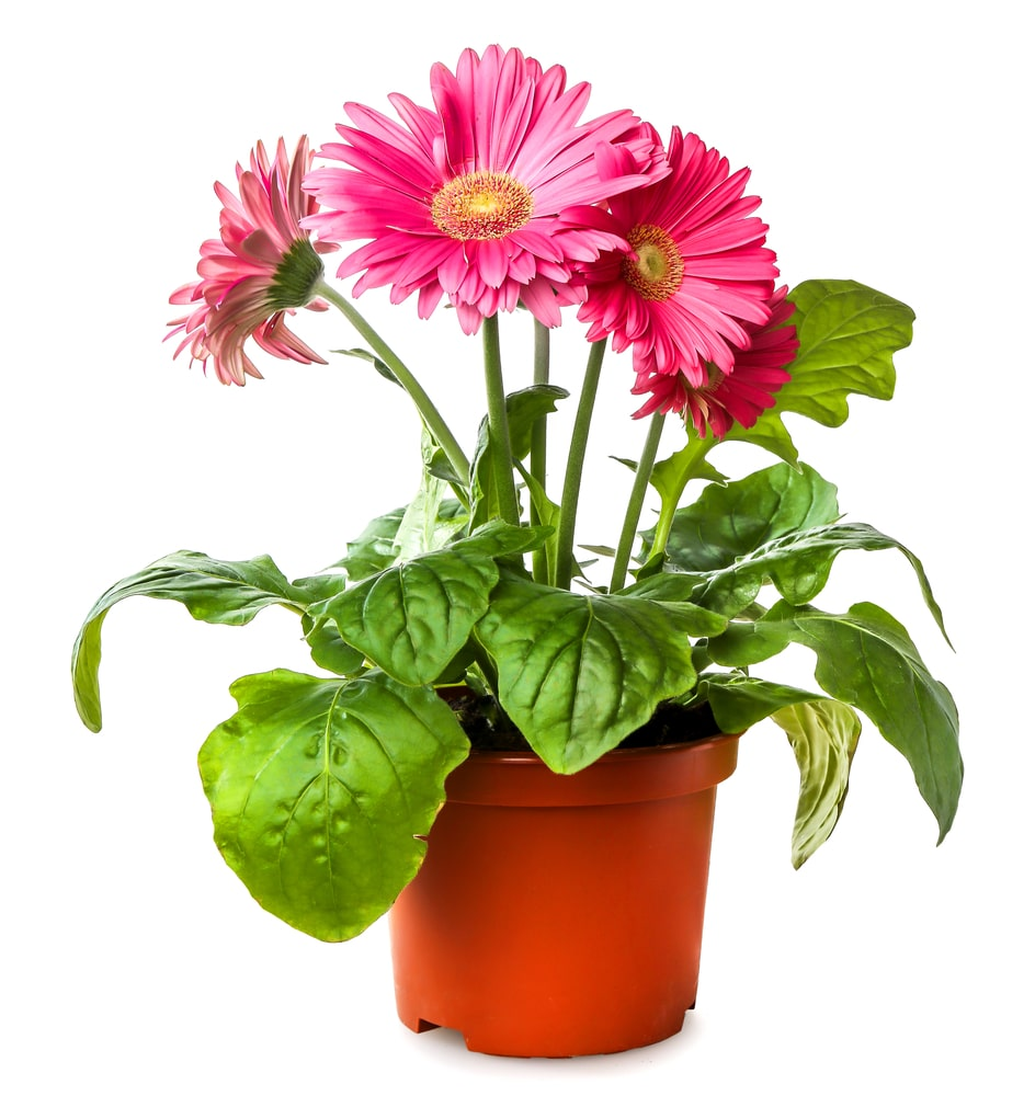 A beautiful cluster of gerbera daisies planted in a pot.