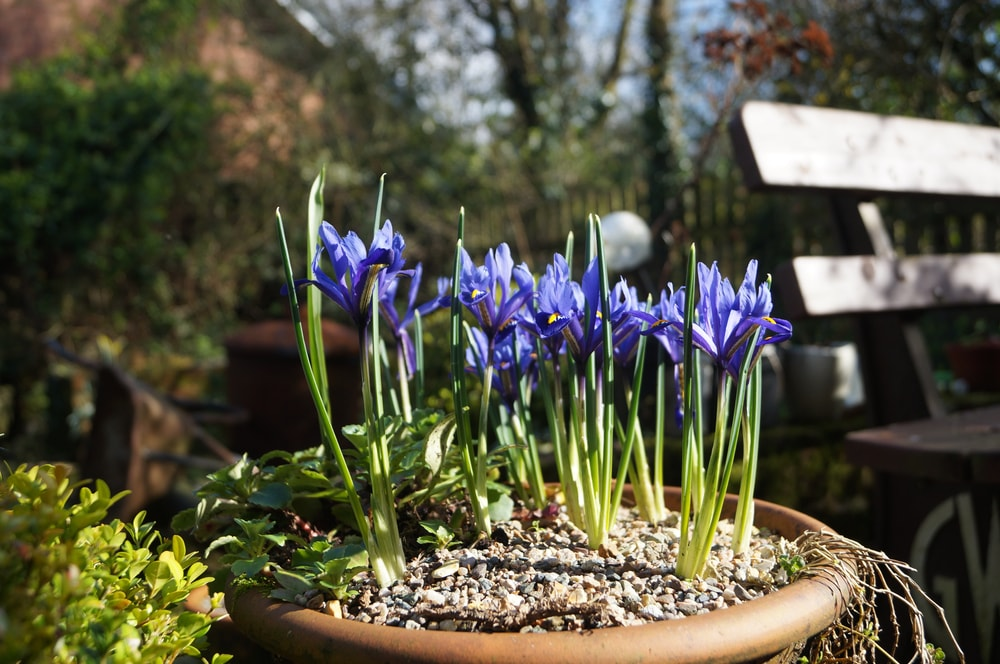 A beautiful cluster of blooming irises on a pot.