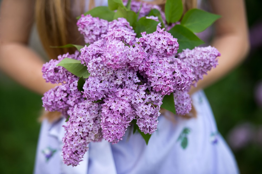 A beautiful bouquet of purple lilacs held in a woman's hands.
