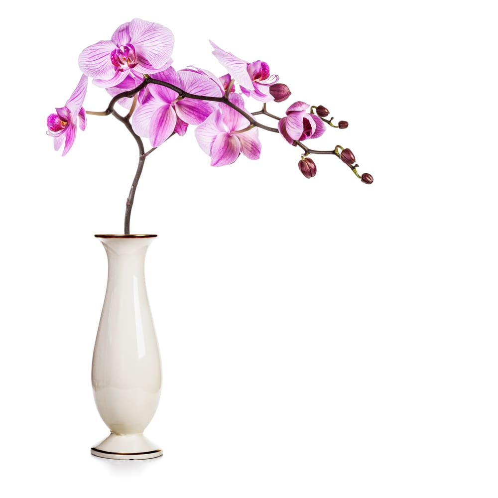 Several orchids on a single stem placed in a white vase.