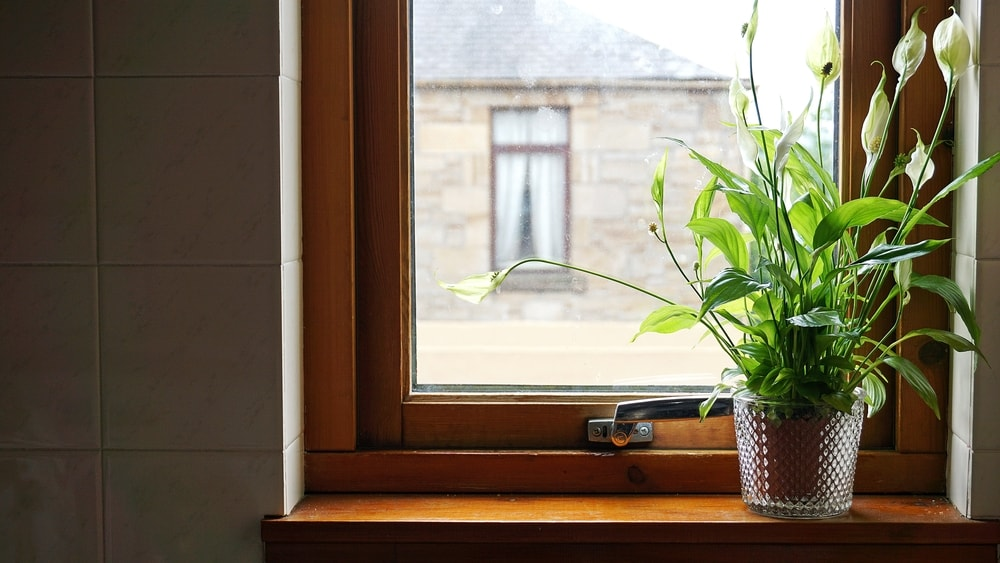 A cluster of peace lilies placed in a pot by the window.