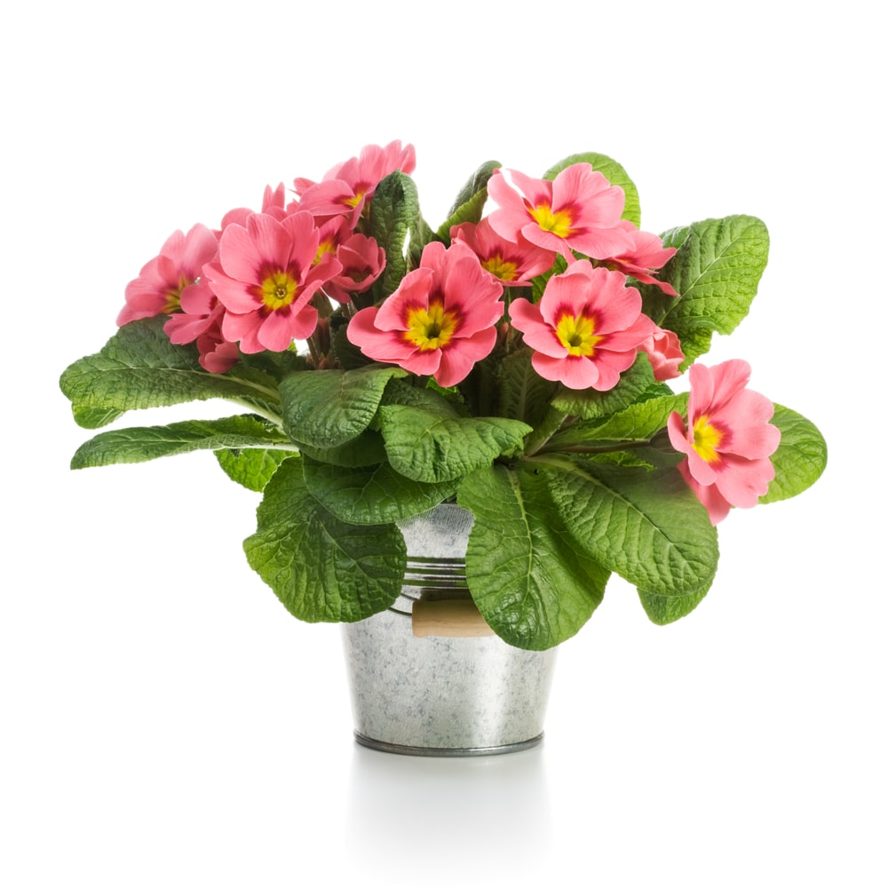 A lovely bouquet of pink primrose flowers in a pail.