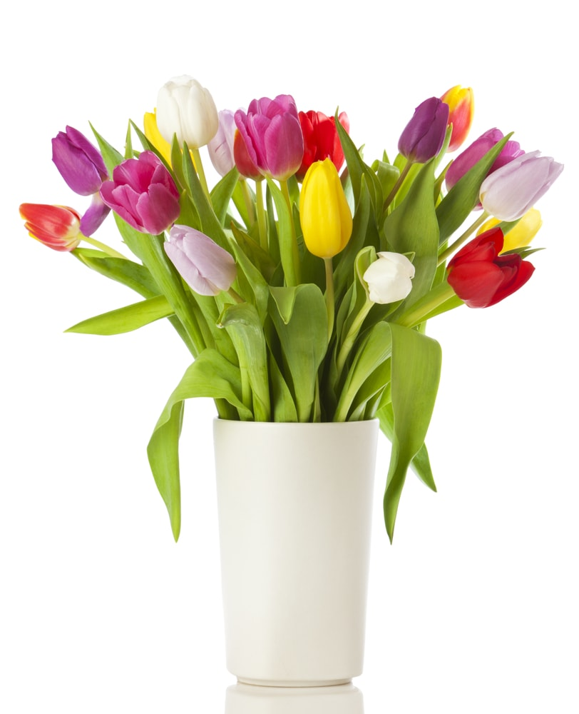 Various colorful tulips placed in a white vase.