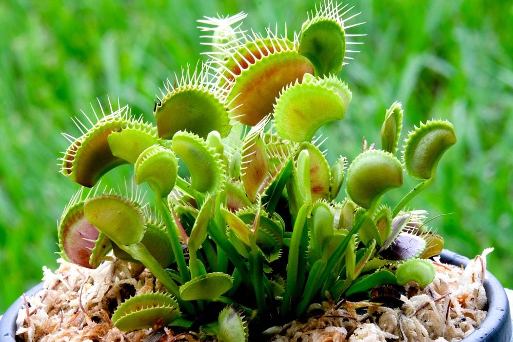 A close up of a potted venus flytrap.