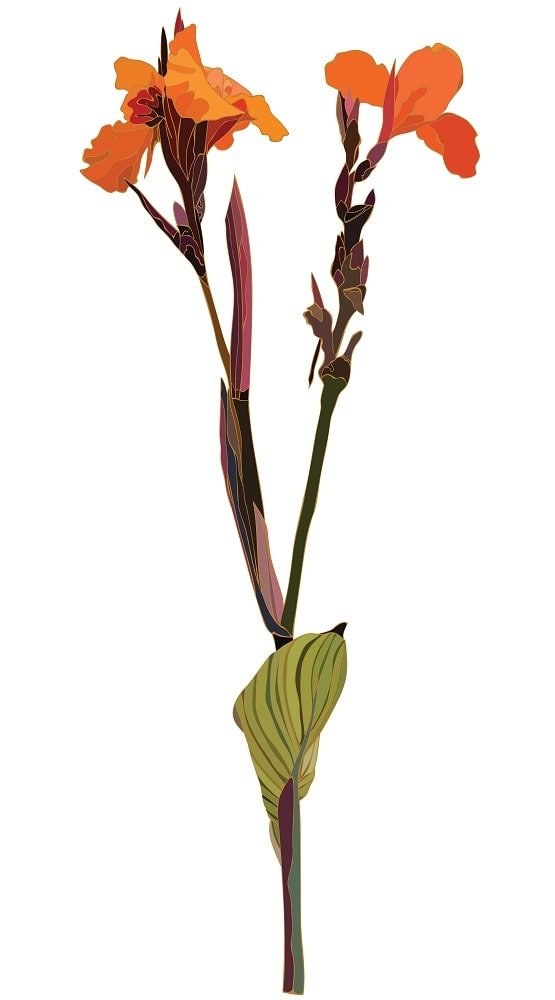 This is an illustration of the beautiful brown canna flower.
