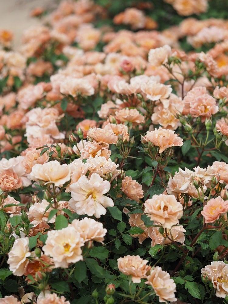 A garden of charlie brown rose.