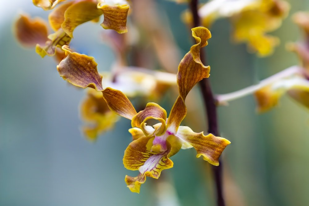 A close inspection of the dendrobium discolor flower.