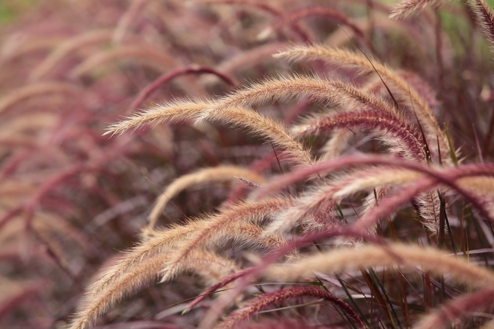 A field of beautiful feather reed grass.