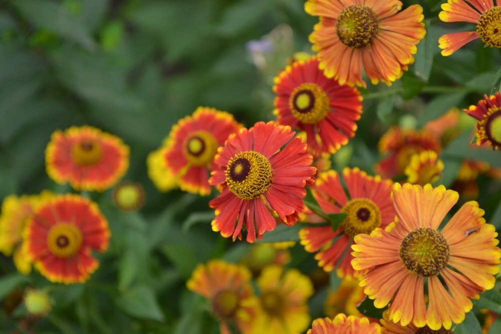 A close look at the gorgeous gaillardia flowers.