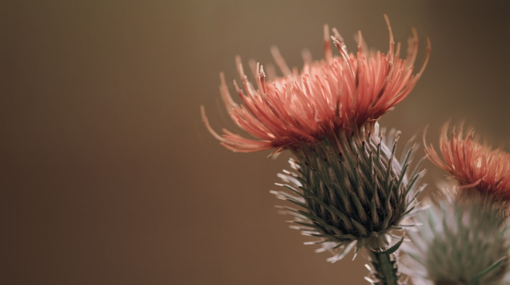 A close up view of the globe thistle flower.