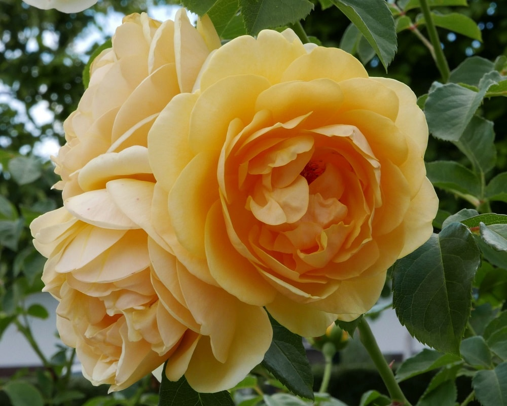 This is a close look at the cluster of lovely Graham Thomas Austin rose.