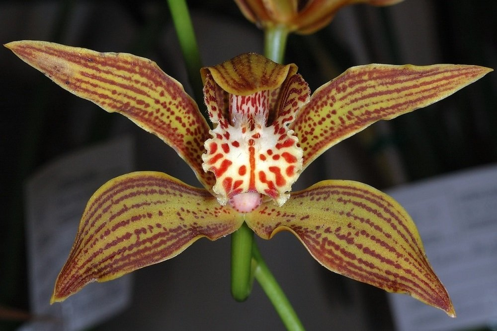 A close up look at the stunning iris-like orchid flower.