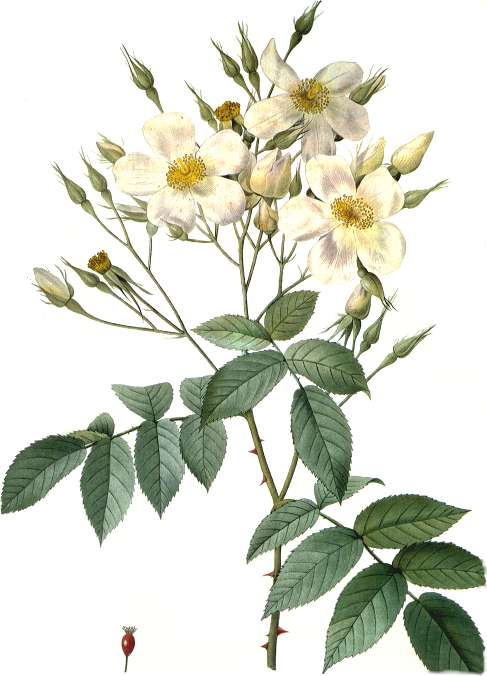 This is an illustration of the lovely musk rose.