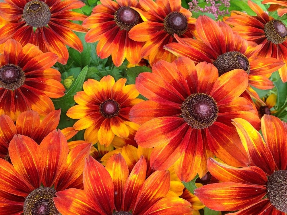 A bunch of colorful and vibrant rudbeckia flowers.