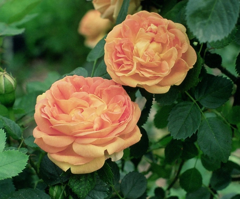 A couple of beautiful and vibrant soleil d'or rose flowers.
