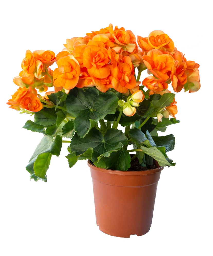 A cluster of charming tuberous begonia in a brown pot.