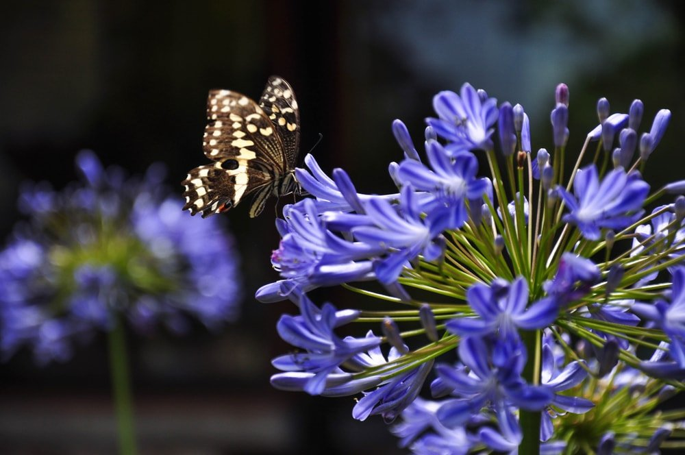 A lovely purple agapanthus flower with a butterfly.