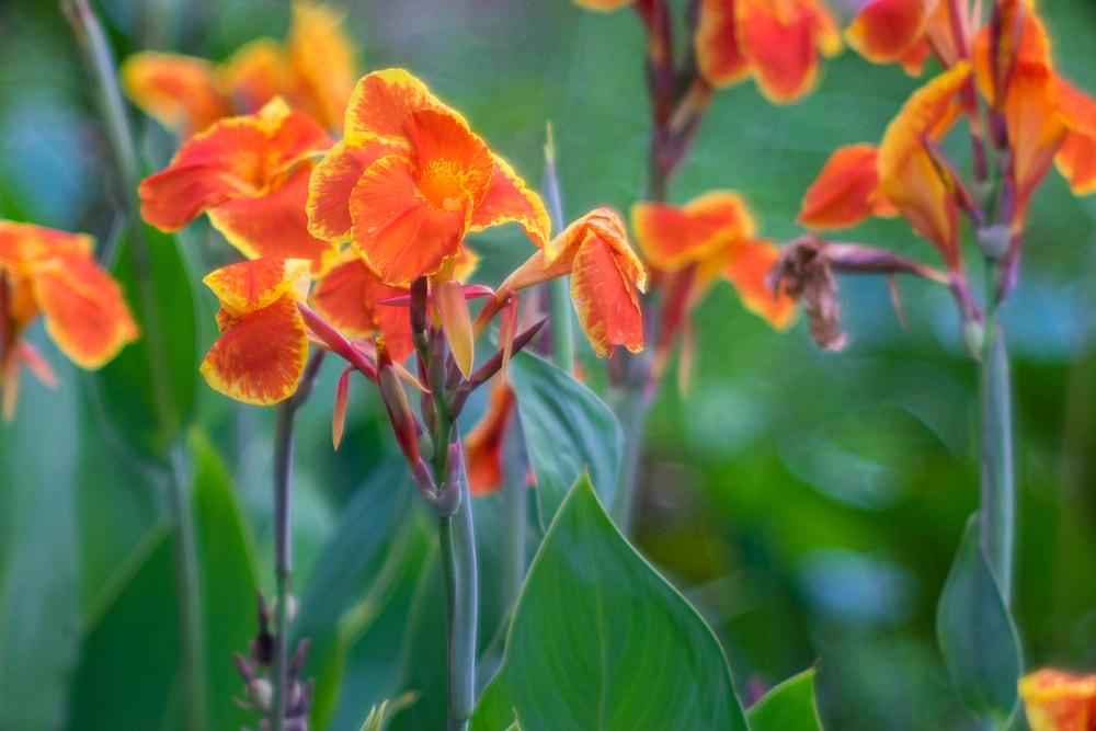 A close up at vibrant orange canna lilies.