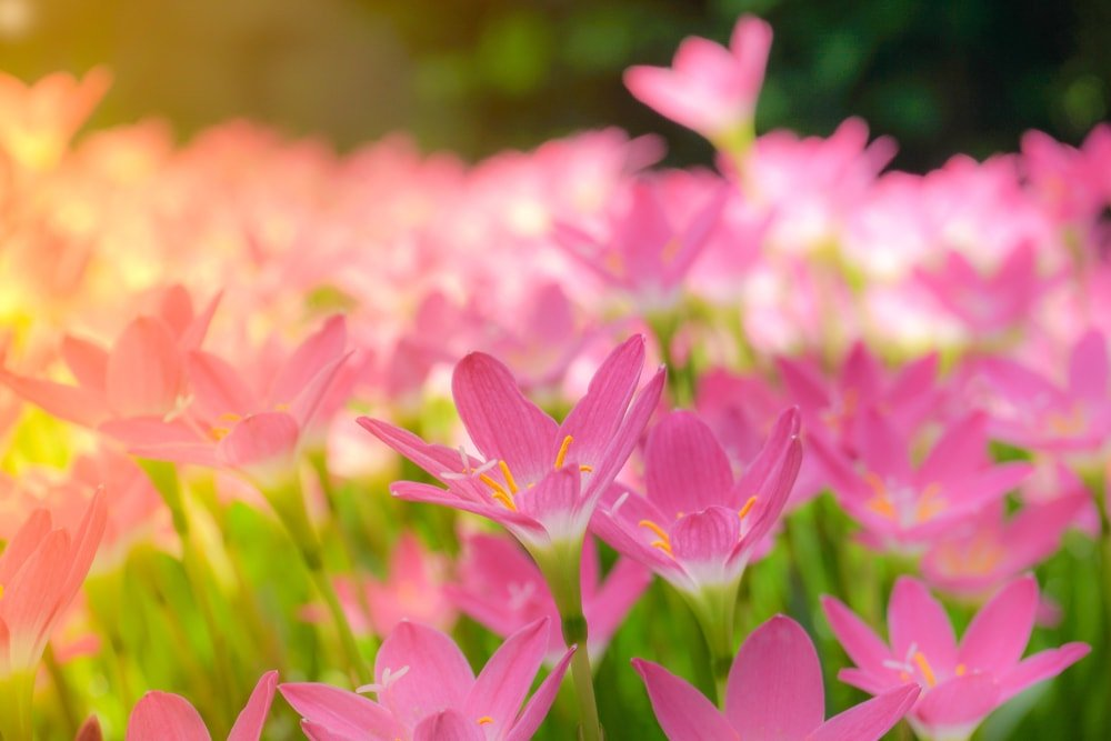 A garden of beautiful pink chilly lilies.